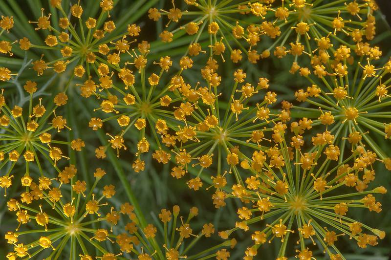 Flowers of fennel (Foeniculum vulgare)(?) in a garden in Al Harrarah. Qatar, March 4, 2016