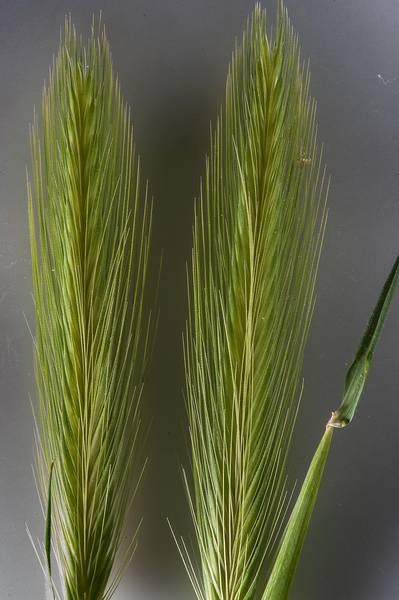 Grass wall barley (Hordeum murinum) in a depression in Al Harrarah. Qatar, March 4, 2016