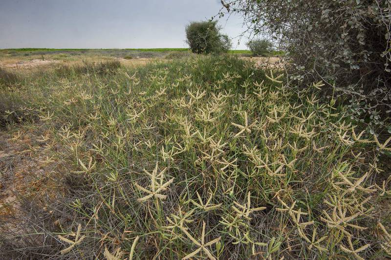 Spikes of wire grass Ochthochloa compressa (local name Hamrah) on periphery of Green Circles (center-pivot irrigation) in Irkhaya (Irkaya) Farms. South-western Qatar, March 5, 2016