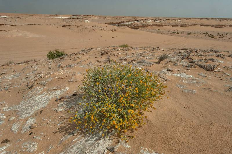 Blooming Arfaj (Rhanterium epapposum) growing on sand covering layers of gypsum crystals (selenite) in area of Jebel Al-Nakhsh (Khashm an Nakhsh) in south-western Qatar, March 11, 2016