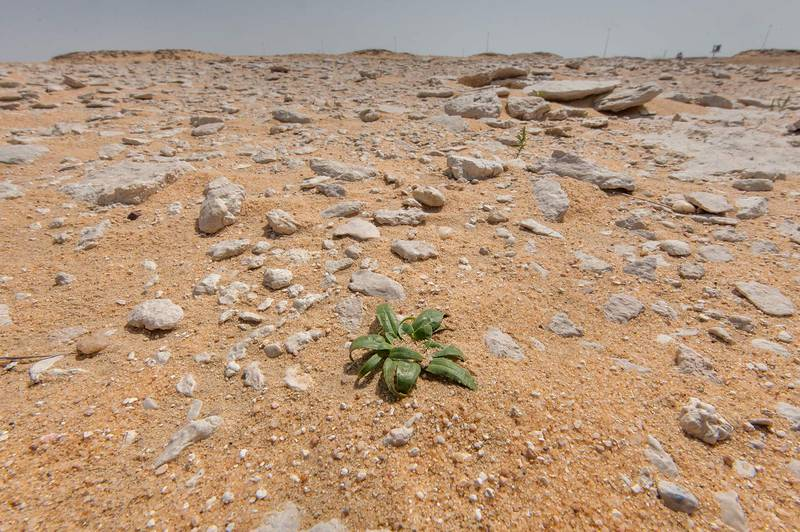 Habitat of Dog's Paw plant (Camel's Eye, Gymnarrhena micrantha) in stony desert in area of Jebel Al-Nakhsh (Khashm an Nakhsh) in south-western Qatar, March 11, 2016