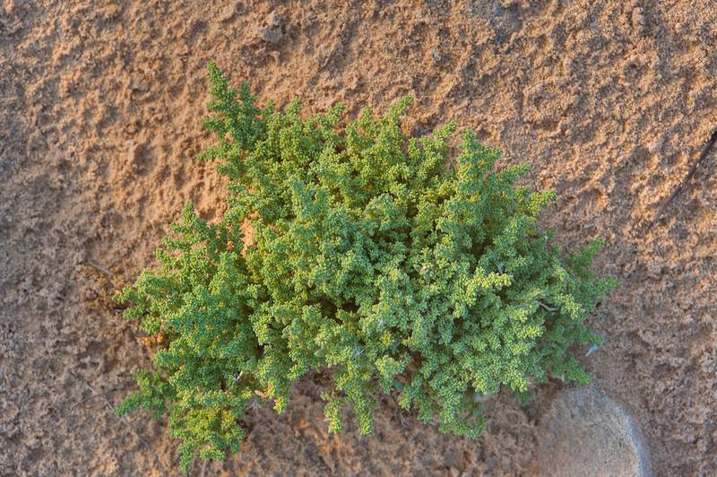 Plant of Herniaria hemistemon (local name Ghebayra) on a rocky ridge of Jebel Fuwairit. Northern Qatar, March 12, 2016