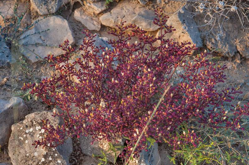Reddish plant of Tetraena qatarense (Zygophyllum qatarense) on a rocky ridge of Jebel Fuwairit. Northern Qatar, March 12, 2016
