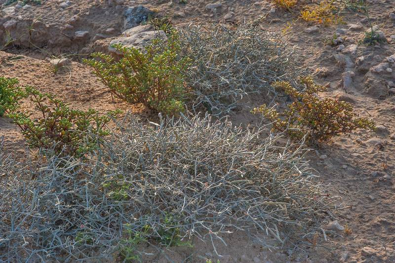 Grey bushes of Farsetia heliophila on a rocky ridge of Jebel Fuwairit. Northern Qatar, March 12, 2016