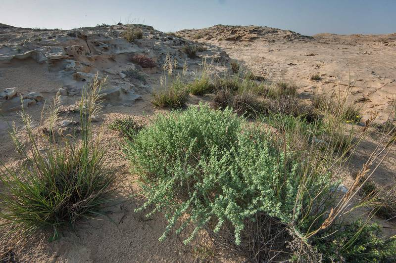 Habitat of Lotus garcinii plants on a rocky ridge of Jebel Fuwairit. Northern Qatar, March 12, 2016
