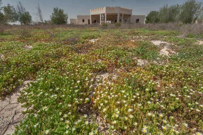 Carpet of blooming Egyptian Fig-marigold (slenderleaf ice plant, Mesembryanthemum nodiflorum) in area of Ras Laffan farms. Northern Qatar, March 12, 2016