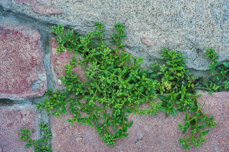 Fourleaf allseed (Polycarpon tetraphyllum) growing from crevices on pavement of sidewalk of United Nations Street in Onaiza area. Doha, Qatar, March 14, 2016