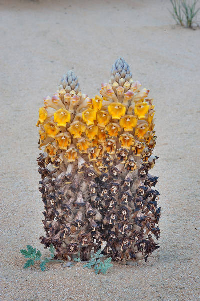 Stout form of a parasitic plant Cistanche tubulosa (desert hyacinth, dhanoon, Tartuth) in windblown sand on roadside of Salwa Road in area of Khashem Al Nekhsh. Southern Qatar, March 18, 2016