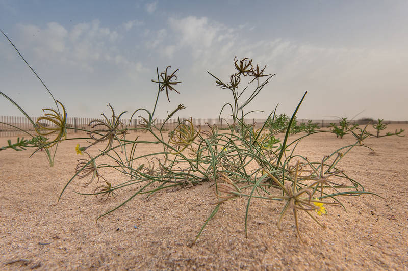 Ground view of a plant Koelpinia linearis of dandelion family in windblown sand on roadside of Salwa Road in area of Khashem Al Nekhsh. Southern Qatar, March 18, 2016