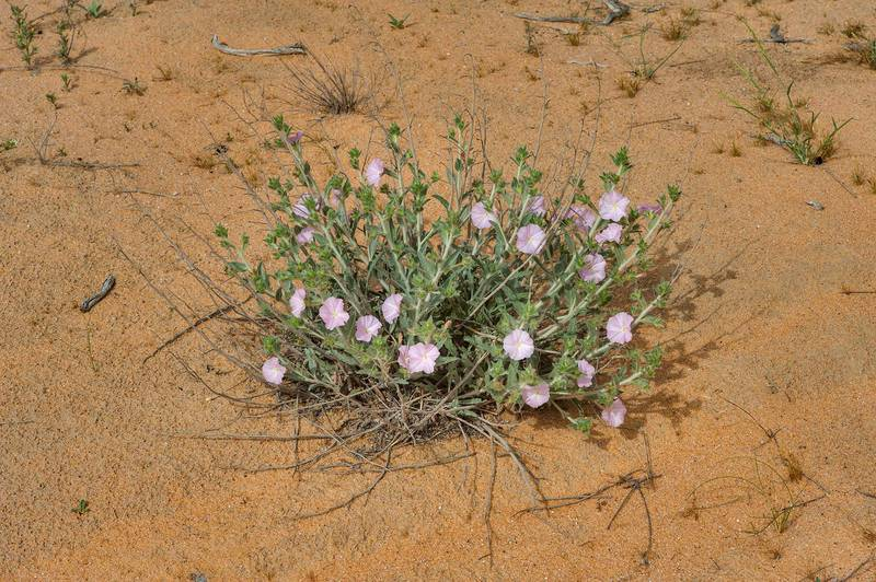 Blooming morning glory (Convolvulus cephalopodus) with emerging flowers on sand dunes near the spring in Maszhabiya (Al Mashabiya) Reserve near Abu Samra. Southern Qatar, March 18, 2016