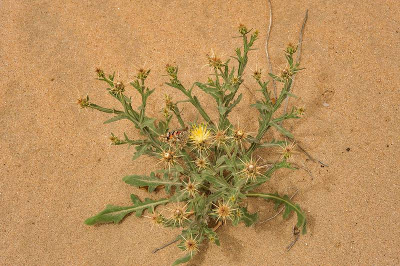 Thorny plant of Centaurea sinaica (Centaurea pseudosinaica, Amberboa crupioides, local names birkan, murrar) in windblown sand on southern side of Salwa Road in area of Khashem Al Nekhsh. Southern Qatar, March 18, 2016