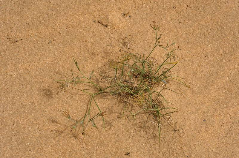 Rare plant Koelpinia linearis with seeds in windblown sand on southern side of Salwa Road in area of Khashem Al Nekhsh. Southern Qatar, March 18, 2016