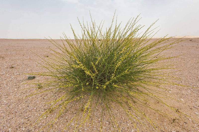 Blooming bush of Ochradenus aucheri on roadside of a road to Sawda Natheel. Southern Qatar, March 18, 2016