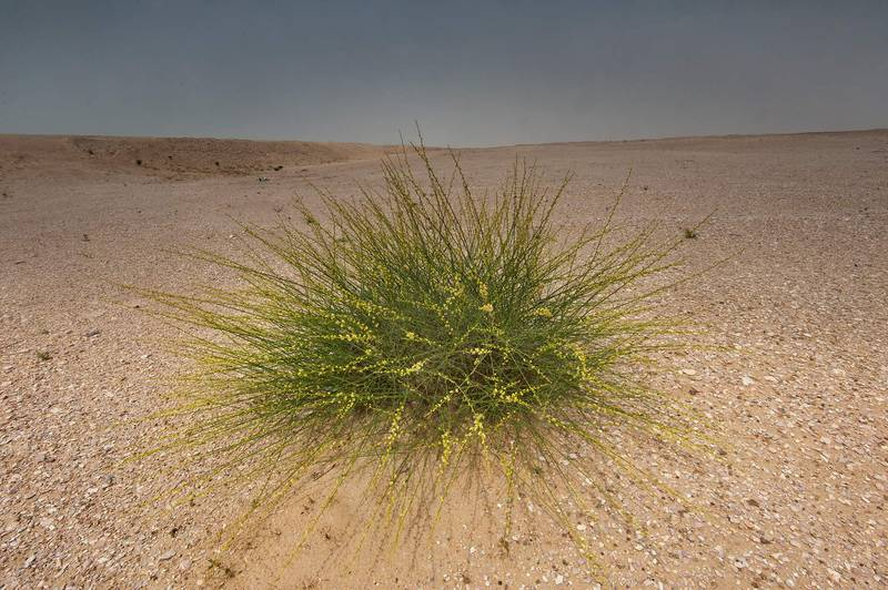 Isolated bush of Ochradenus aucheri on roadside of a road to Sawda Natheel. Southern Qatar, March 18, 2016