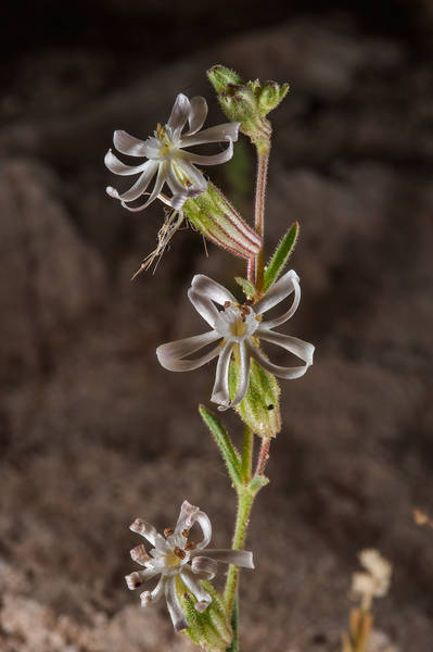 Silene arabica (Silene affinis, local name terba) south from Fuwairit. Northern Qatar, March 19, 2016