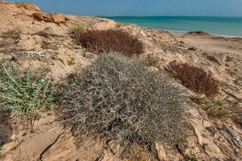Large blooming plant of Farsetia heliophila on rocky ridge of Jebel Fuwairit. Northern Qatar, March 19, 2016