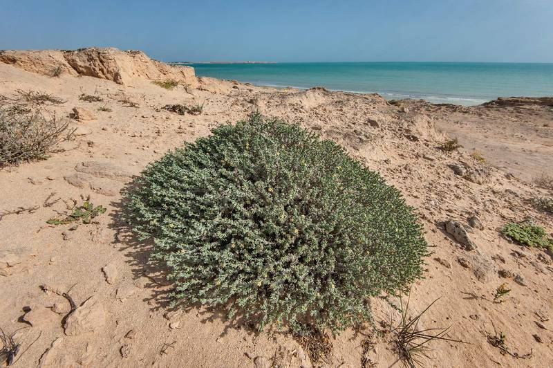 Large bush of stoneseed (Echiochilon jugatum) on rocky ridge of Jebel Fuwairit. Northern Qatar, March 19, 2016