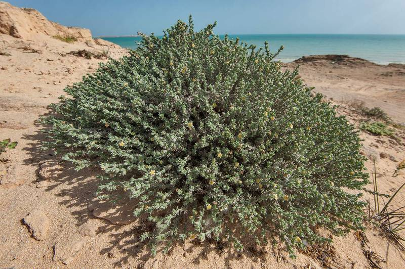 Blooming bush of stoneseed (Echiochilon jugatum) on rocky ridge of Jebel Fuwairit. Northern Qatar, March 19, 2016