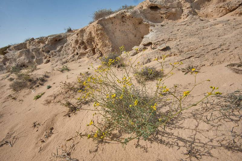 Plant of Haplophyllum tuberculatum (local name Meseika) on a rocky ridge of Jebel Fuwairit. Northern Qatar, March 19, 2016