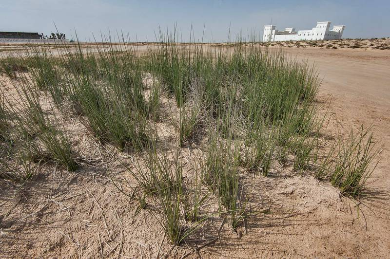 Rush (Juncus rigidus) near French Beach (42 km Beach) in Marouna, on north-eastern coast. Qatar, March 19, 2016