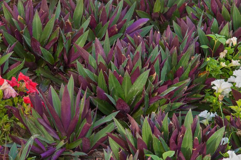 Dark red rosettes of leaves of boat lily (Tradescantia spathacea, Rhoeo discolor) in Dahl Al Hamam Park at Al Markhiya Street. Doha, Qatar, March 21, 2016