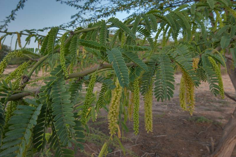 Flowers of mesquite tree (Prosopis juliflora) in a park of Qatar University. Doha, Qatar, March 23, 2016
