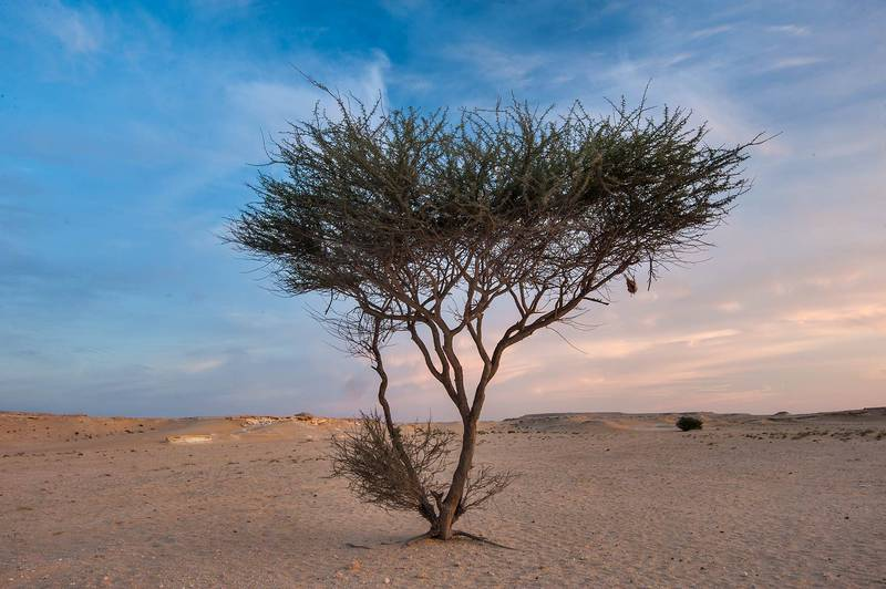 Acacia tortilis(?) at sunrise in area of Jebel Al-Nakhsh (Khashm an Nakhsh). South-western Qatar, March 25, 2016