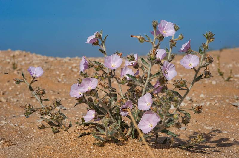 Desert species of morning glory (Convolvulus cephalopodus) on roadside in area of Jebel Al-Nakhsh (Khashm an Nakhsh). South-western Qatar, March 25, 2016