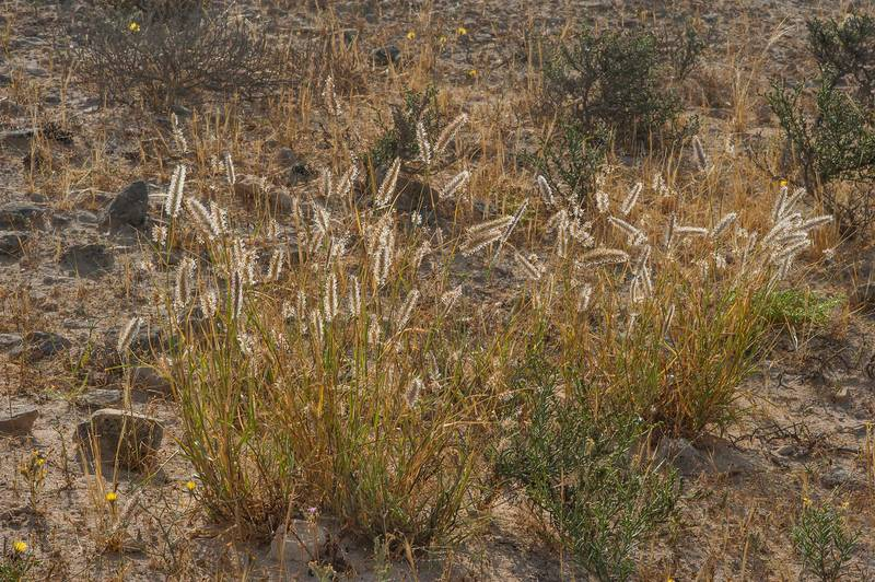 Buffelgrass (African foxtail grass, Cenchrus ciliaris, Pennisetum ciliare)(?) on a rocky ridge in Jabal Al Jassasiya, on north-eastern coast. Qatar, March 26, 2016