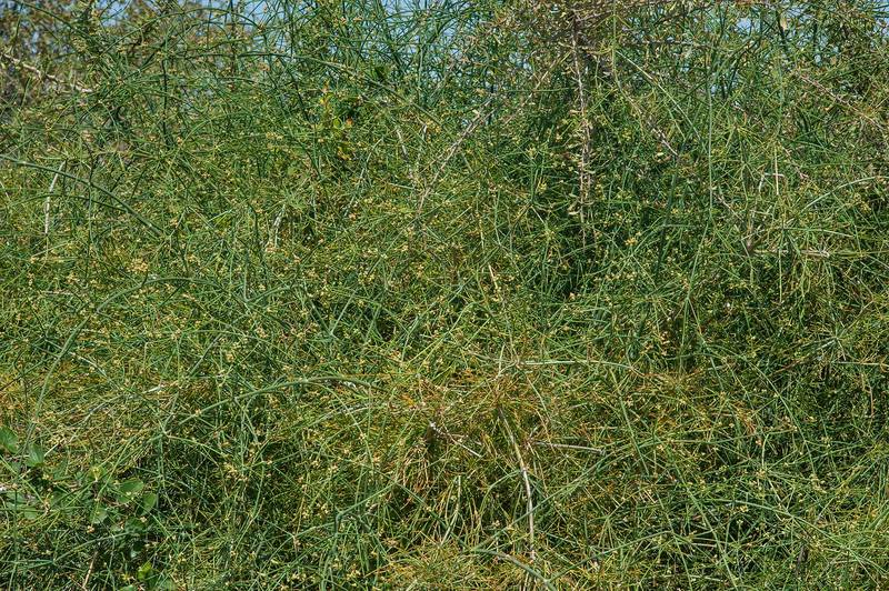 Shrubby Horsetail (Ephedra foliata, Ephedra ciliata, local name alanda) growing on bushes of Ziziphus nummularia on roadside of a road to Zubara, area of Al Magdah farms. Northern Qatar, March 26, 2016