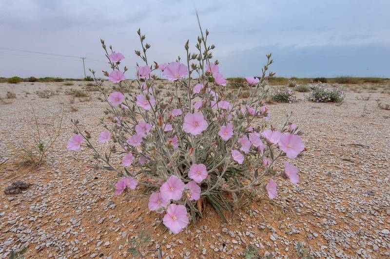 Pink flowers of morning glory (Convolvulus cephalopodus) on a gravel plain in Maszhabiya (Al Mashabiya) Reserve near Abu Samra. Southern Qatar, April 1, 2016