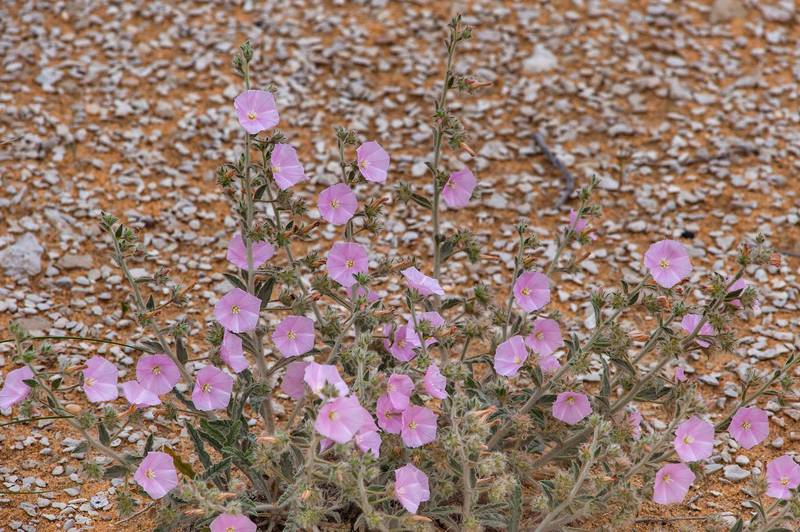 Blooming of morning glory (Convolvulus cephalopodus) on a gravel plain in Maszhabiya (Al Mashabiya) Reserve near Abu Samra. Southern Qatar, April 1, 2016