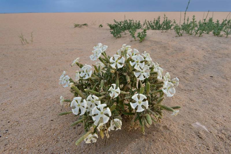 Desert campion (Silene villosa, local name terba) in windblown sand on roadside of Salwa Road in area of Khashem Al Nekhsh. Qatar, April 8, 2016