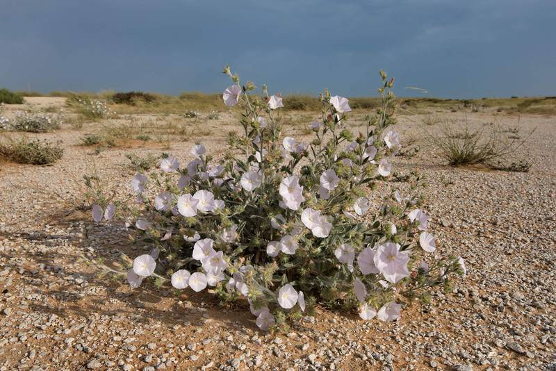 Morning glory (Convolvulus cephalopodus) in bloom on a gravel plain in Maszhabiya (Al Mashabiya) Reserve near Abu Samra. Southern Qatar, April 8, 2016