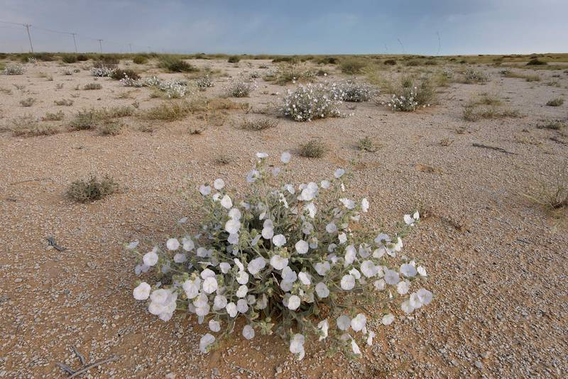 Blooming plant of Morning glory (Convolvulus cephalopodus) on a gravel plain in Maszhabiya (Al Mashabiya) Reserve near Abu Samra. Southern Qatar, April 8, 2016