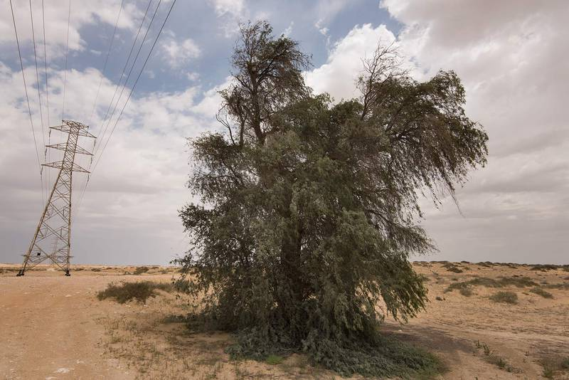 Big ghaf tree (Prosopis cineraria) near Salwa Road in area of Rawdat Ekdaim. Southern Qatar, April 8, 2016