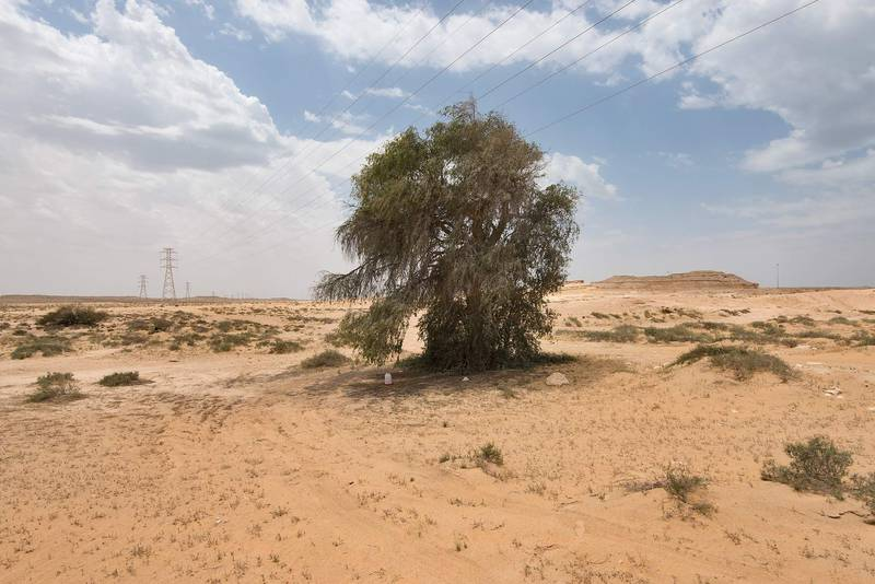Ghaf tree (Prosopis cineraria) near Salwa Road in area of Rawdat Ekdaim. Southern Qatar, April 8, 2016
