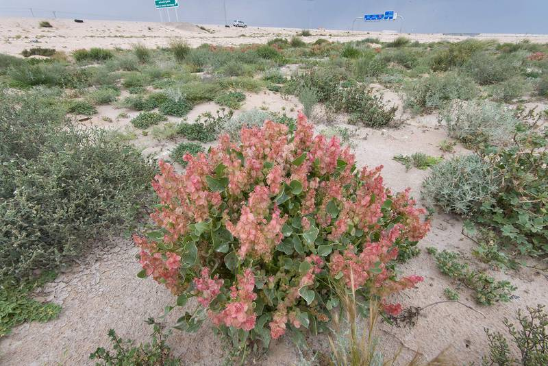 Bladder dock (Rumex vesicarius, local name Hummeid) on roadside of Salwa Highway. Southern Qatar, April 8, 2016