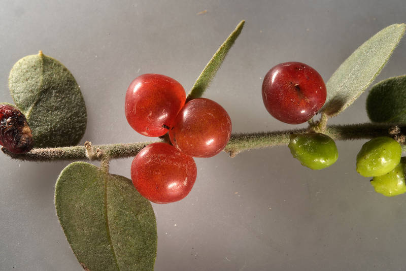 Red berries and green galls on Cocculus pendulus (local names khuneigh, gurdhi) found on roadside of a road from Khawzan to Al-Jumayliyah. Qatar, April 9, 2016