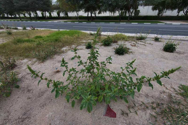 Amaranth (Amaranthus hybridus)(?) on the median strip of Al Istiqlal Street in Onaiza area. Doha, Qatar, April 13, 2016