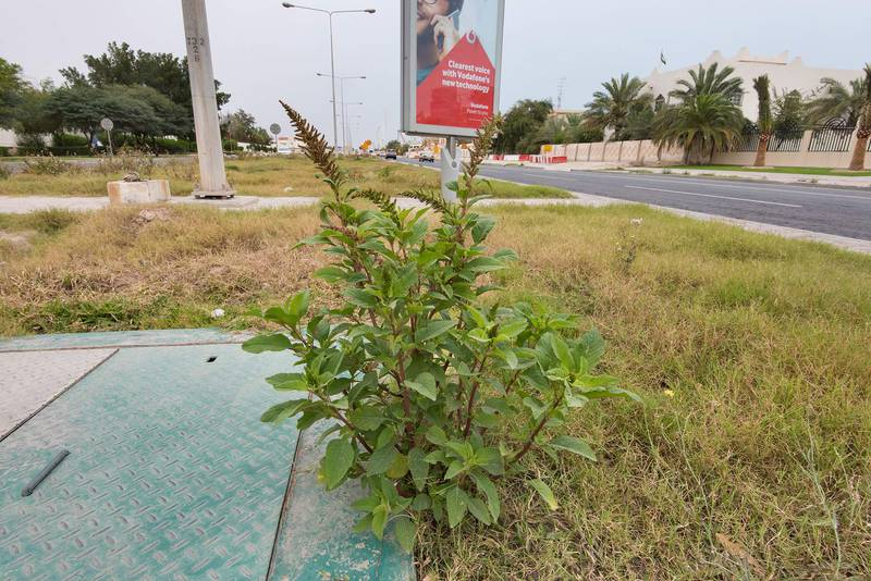 Amaranthus hybridus grown on the median strip of Al Istiqlal Street in Onaiza area. Doha, Qatar, April 13, 2016