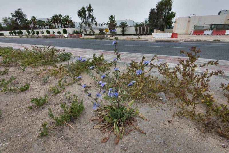 Blooming chicory (Cichorium pumilum) on the median strip of Al Istiqlal Street in Onaiza area. Doha, Qatar, April 13, 2016
