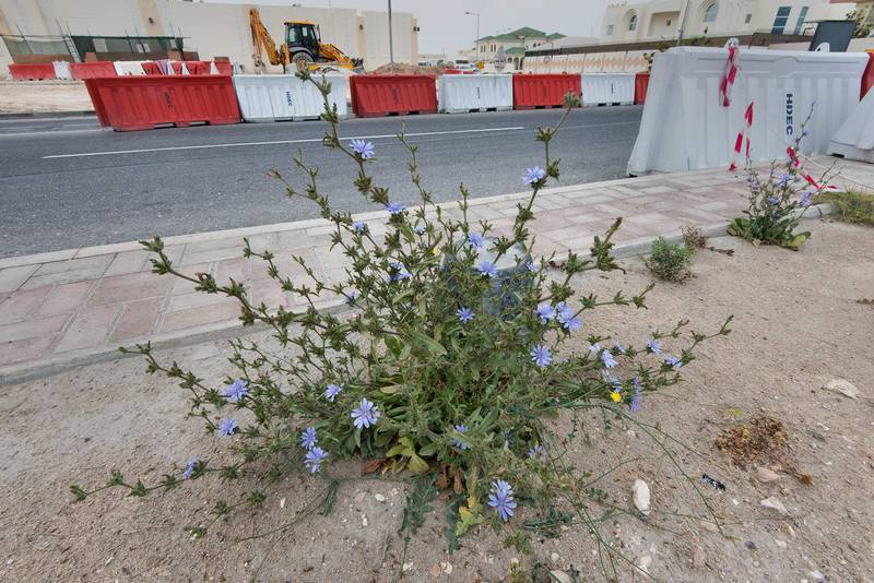 Plant of chicory (Cichorium pumilum) on the median strip of Al Istiqlal Street in Onaiza area. Doha, Qatar, April 13, 2016