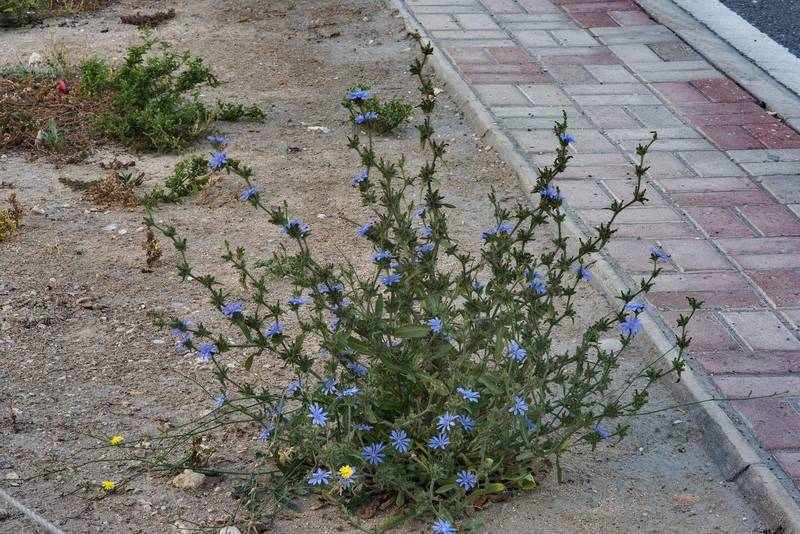 Chicory (Cichorium pumilum) in bloom on the median strip of Al Istiqlal Street in Onaiza area. Doha, Qatar, April 14, 2016