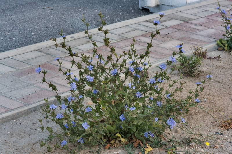 Chicory (Cichorium pumilum) with blue flowers on the median strip of Al Istiqlal Street in Onaiza area. Doha, Qatar, April 14, 2016