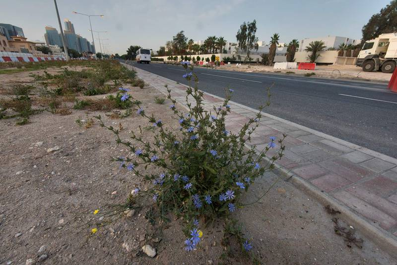 Wide angle view of chicory (Cichorium pumilum) on the median strip of Al Istiqlal Street in Onaiza area. Doha, Qatar, April 14, 2016