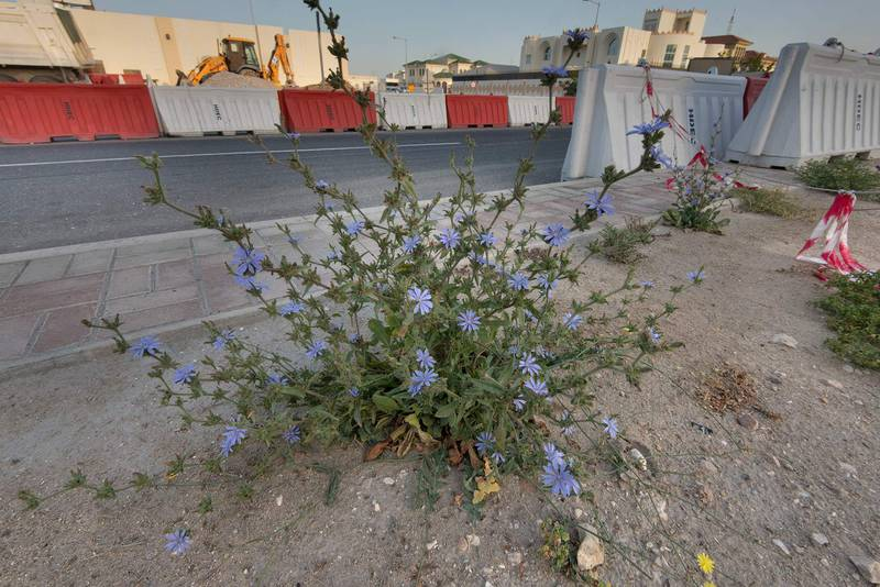 Blooming plant of chicory (Cichorium pumilum) on the median strip of Al Istiqlal Street in Onaiza area. Doha, Qatar, April 14, 2016