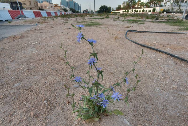 Small blooming plant of chicory (Cichorium pumilum) on the median strip of Al Istiqlal Street in Onaiza area. Doha, Qatar, April 14, 2016