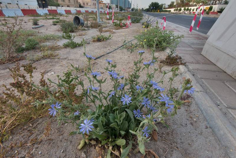 Chicory (Cichorium pumilum) in flower on the median strip of Al Istiqlal Street in Onaiza area. Doha, Qatar, April 14, 2016