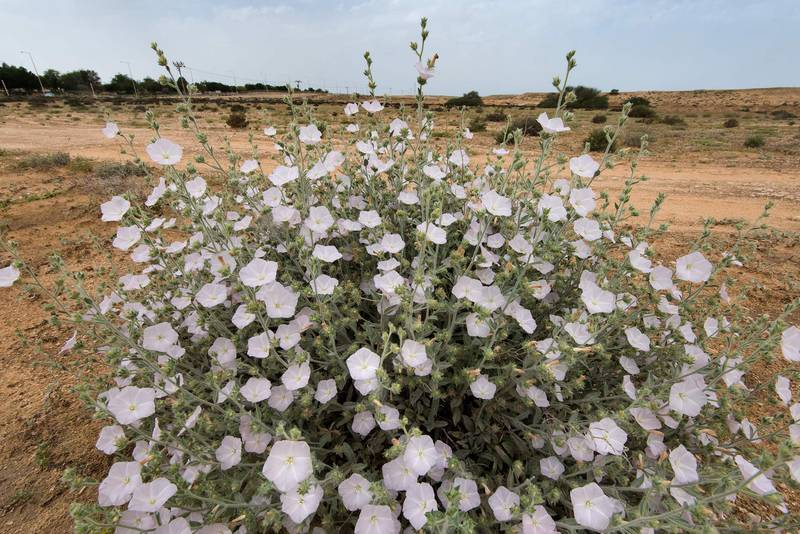 White flowers of morning glory (Convolvulus cephalopodus) on waste ground at the entrance of Umm Bab in south-western Qatar, April 15, 2016